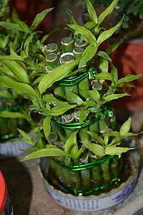 富贵竹盆摘