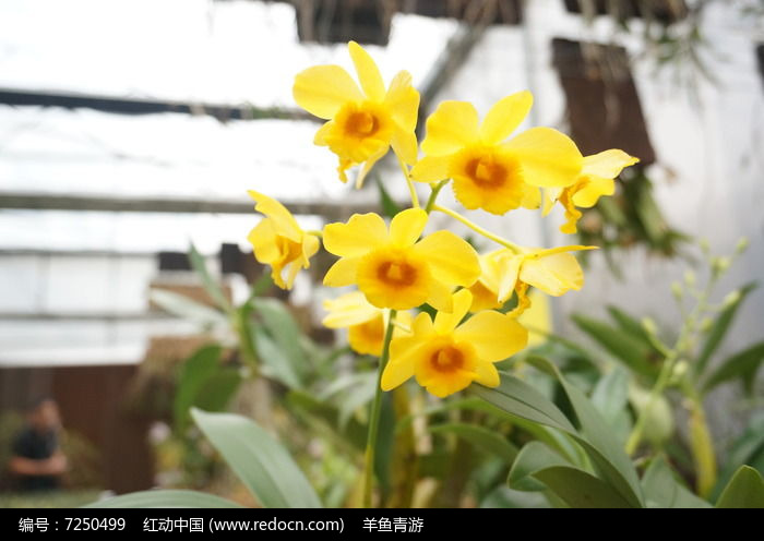 Image result for 石斛花