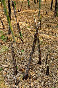 生长的竹笋