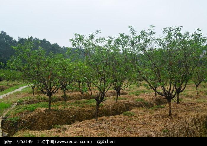 桃树林风景图片