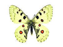 小红珠绢蝶
