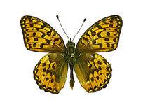 银斑豹蛱蝶