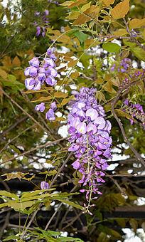 一束淡紫色的紫藤花