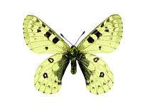 中亚丽绢蝶