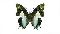 珠波尾蛱蝶