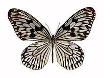 白头帛斑蝶