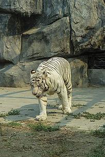 动物园里的白老虎