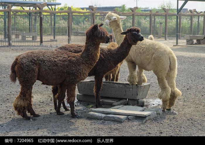 动物园里的羊驼