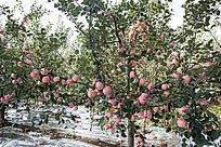 丰收的苹果