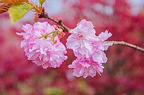 粉嫩的樱花虚化特写
