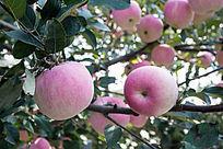 红彤彤的苹果