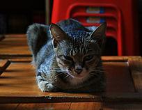 冷傲可爱的家猫