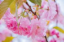 四月盛开的粉嫩樱花
