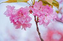 樱花特色写真