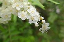 白花珍珠梅