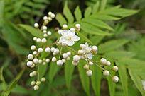 灌木 珍珠梅
