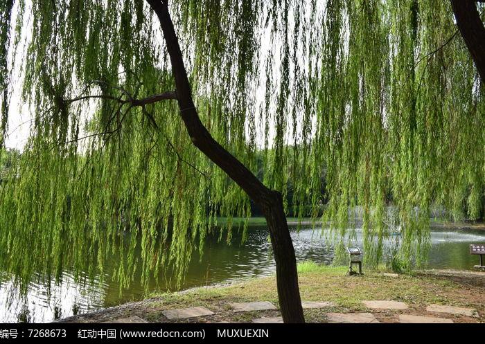 湖边的垂柳细节图图片