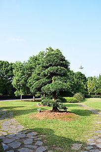 蓝色天空下的层状塔树装饰树