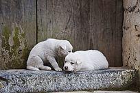 两只白色的小狗