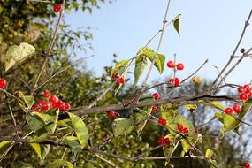 绿叶与野红果子