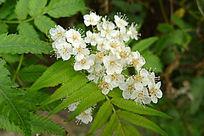 药用植物 珍珠梅