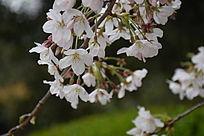 白色的海棠花
