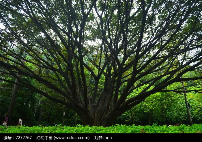 大榕树树木风景图片,高清大图_树木枝叶素材