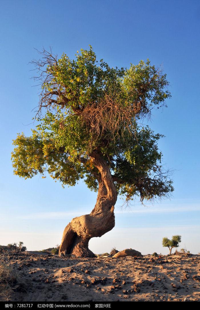 原创摄影图 动物植物 树木枝叶 沙漠上的胡杨树  请您分享: 红动网