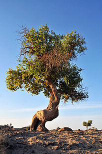 沙漠上的胡杨树