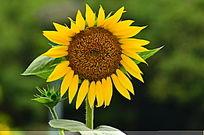 盛开的向日葵花朵图片