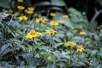 一片黄色雏菊