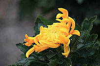 侧面的黄菊花