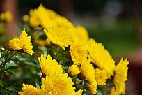 黄菊花盆景素材