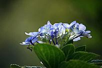 蓝色幸福花