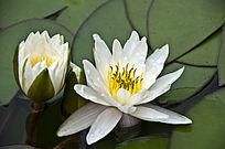 两朵白睡莲