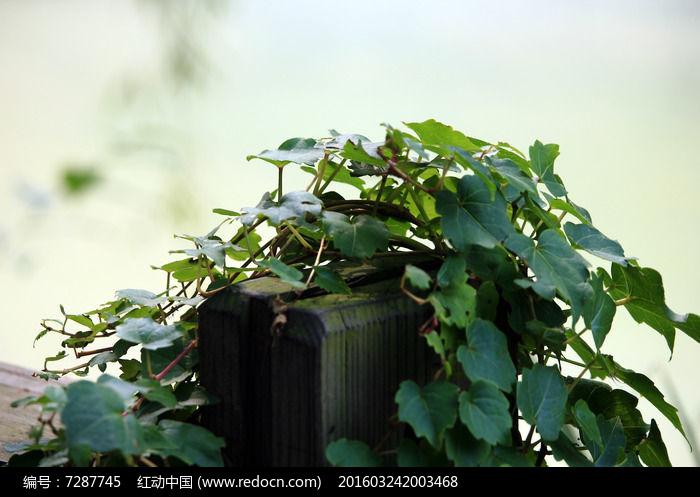 原创摄影图 动物植物 花卉花草 蔓类植物