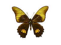 拟红纹凤蝶