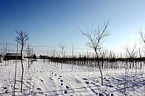 雪地里的小树林
