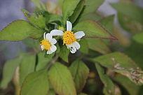 学校里的小野花