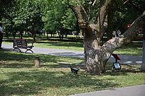 阳光下的大树干和木椅草坪景观图
