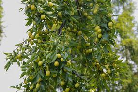 枝头枣儿满树