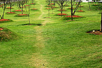 草地樱花树