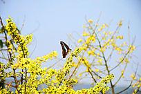 黄色花枝上的蓝黑色蝴蝶