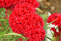 火红鸡冠花