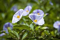 蓝色的小花卉