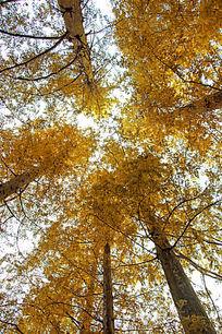 仰拍黄色树林