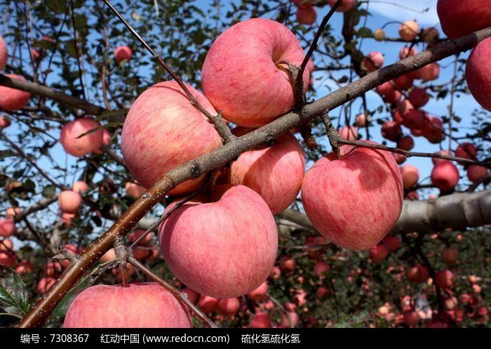 原创摄影图 动物植物 农作物 丰收的苹果