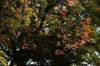 光影中的红枫树枝叶