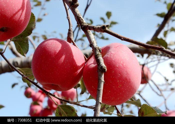 原创摄影图 动物植物 农作物 红彤彤的大苹果