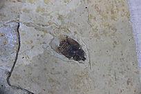 金龟总科化石